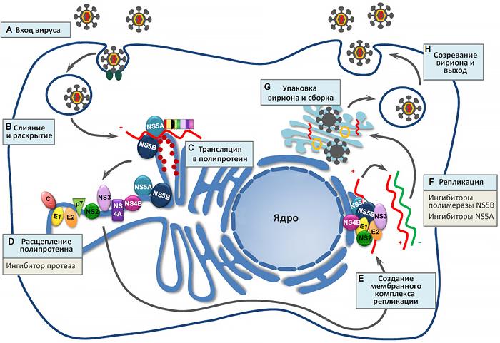 Жизненный цикл вируса гепатита С и цели терапии